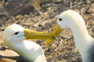Galapagos Albatross